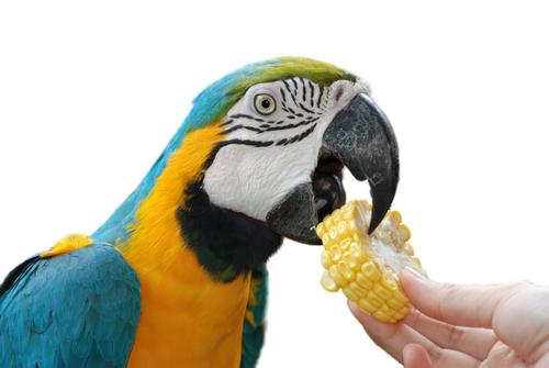 thức ăn cho vẹt macaw
