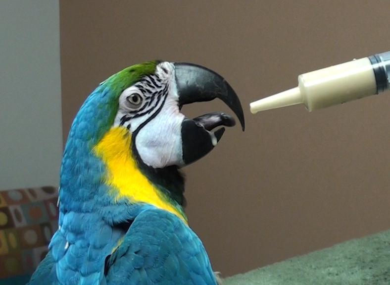 Cho vẹt ăn và tập cho vẹt tự ăn