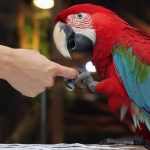Teaching parrots how to wave and shake hand