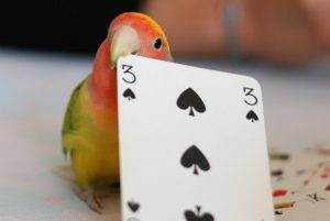 parrot play card