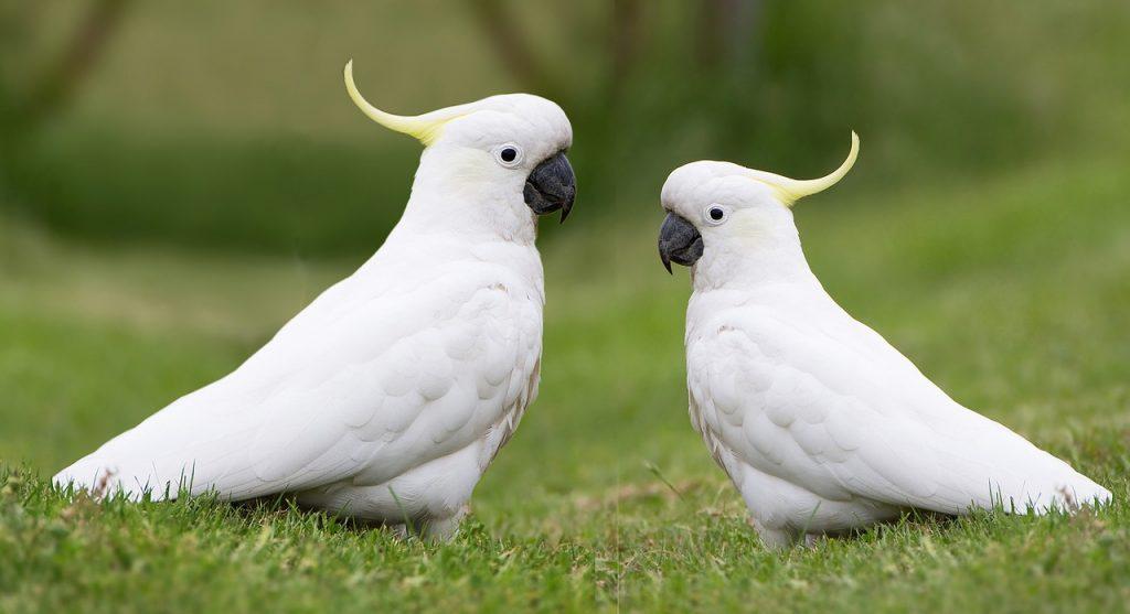vet-Cockatoo