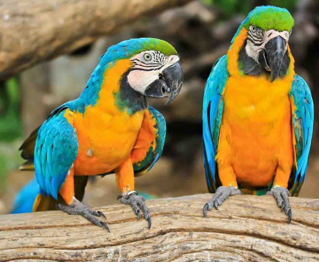 vet-blue-and-gold-macaw