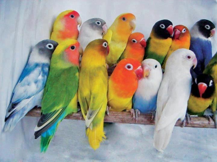 vet-lovebird-maudon