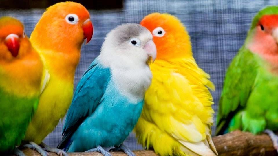 vet-lovebird